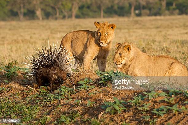 youngs lion stalking porcupine - istrice foto e immagini stock