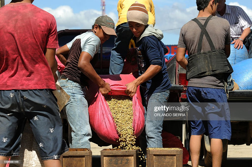 Youngsters unload coffee beans during harvest in the department El Paraiso, 110 kms east of Tegucigalpa, on Januray 17, 2013. Central America, one of main producers of the best Arabica Coffee, is analyzing to take measures to combat the Roya (Puccinia graminis) blight already threatening more than one third of the bean crop, one of the region's major export items. AFP PHOTO/Orlando SIERRA