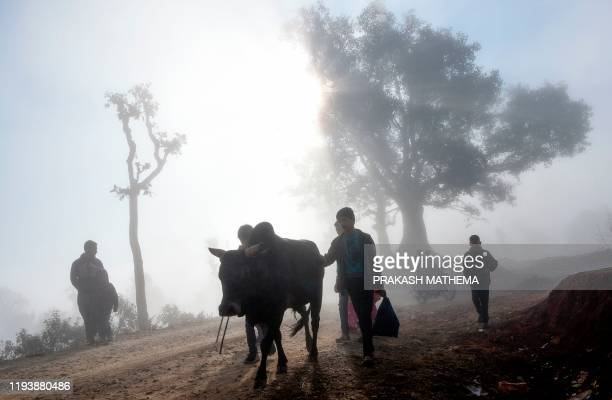 TOPSHOT Youth and people lead their bull on a road ahead of a bullfighting during the Maghe Sankranti festival to commemorate the start of the holy...