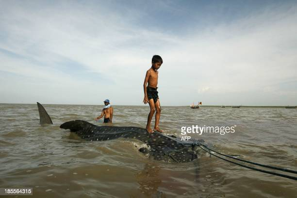 A youth stands on a a whale shark towed by fishermen along the coast of Surabaya in eastern Java island on October 22 to be sold to prospective...