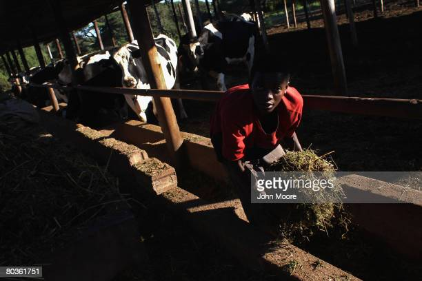 Youth works at a functioning dairy farm March 20, 2008 east of Bulawayo, Zimbabwe. Since 2000, when some 4,000 white farmers lost their farms as part...