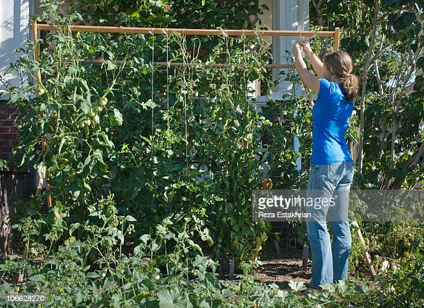 Ypung woman ties up tomato plants in home garden