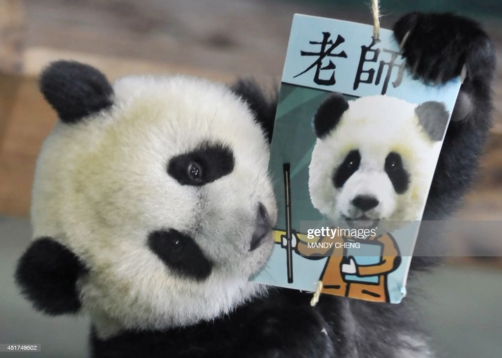 Yuan Zai , the first Taiwan-born baby panda, bites a career card reading 'teacher' while playing 'Zhua Zhou', a traditional game played on a child's first birthday to determine his or her future, during the celebration of her first birthday at the Taipei City Zoo on July 6, 2014. The first panda born in Taiwan, was delivered on July 7, 2013 following a series of artificial insemination sessions after her parents -- Yuan Yuan and her partner Tuan Tuan, donated by China to Taiwan five years ago -- failed to conceive naturally. AFP PHOTO / Mandy CHENG