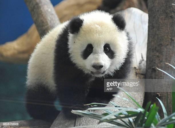 Yuan Zai the first Taiwanborn baby panda plays inside its enclosure at the Taipei City Zoo on January 6 2014 Yuan Zai who weighed 180 grams at birth...