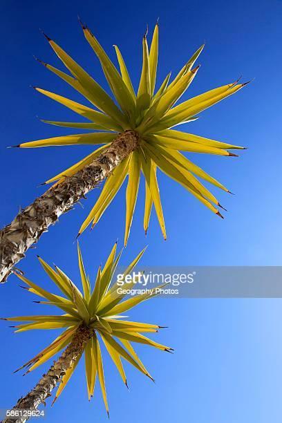 Yucca aloifolia Spanish bayonet garden plant against blue sky Cabo de Gata natural park Almeria Spain