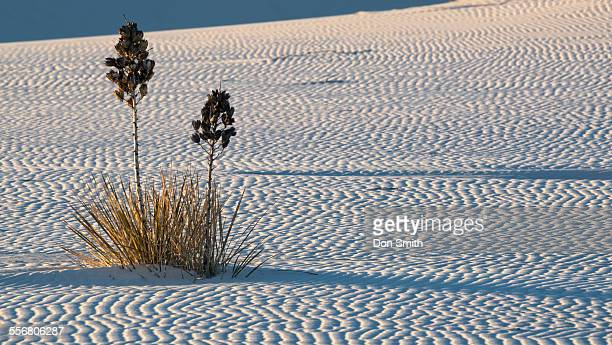 yucca and sand ripples - don smith stock pictures, royalty-free photos & images