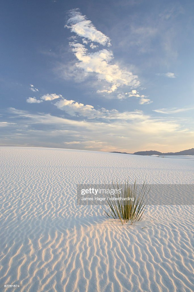 Yucca growing in rippled sand, White Sands National Monument, New Mexico, United States of America, North America : Stock Photo