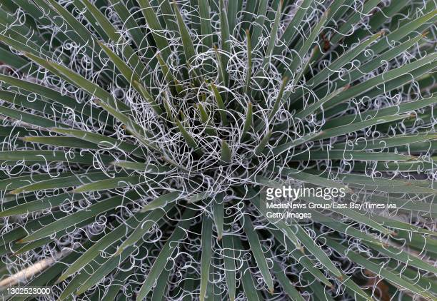 Yucca harrimaniae, native to Utah, is seen at the Ruth Bancroft Garden in Walnut Creek, Calif., on Wednesday, Feb. 3, 2021.