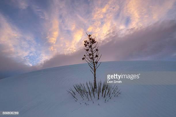 yucca on dune - don smith imagens e fotografias de stock