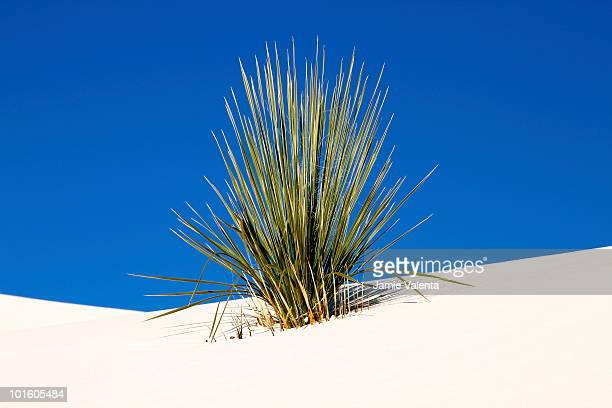 yucca on sand - chihuahua desert stock pictures, royalty-free photos & images