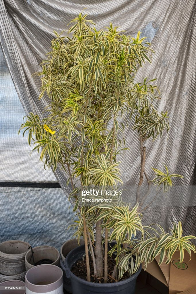 Yucca plant with gray curtain at the background. : Stock Photo