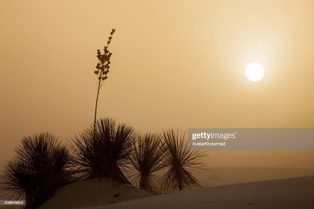Yucca Sunset : Stock Photo