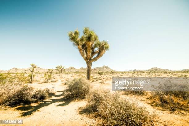 yucca trees in mojave desert, - san bernardino california stock pictures, royalty-free photos & images
