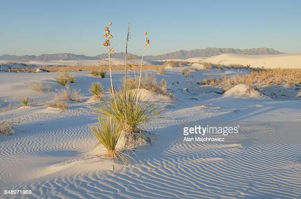 yucca, white sands national monument - nouveau mexique photos et images de collection