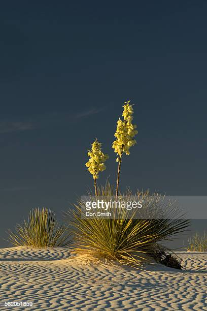 yuccas and sand ridges - don smith stockfoto's en -beelden