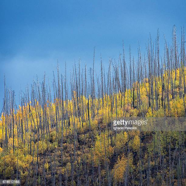 yukon dead trees and fall / autumn colorsyukon dea - dramatic landscape stock pictures, royalty-free photos & images