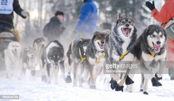 yukonquest 2011 - sleigh stock photos and pictures