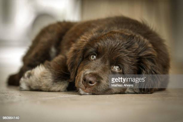 yuma-dawn - newfoundland dog stock photos and pictures
