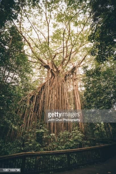 yungaburra fig tree - atherton tableland stock pictures, royalty-free photos & images