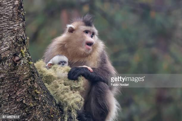 yunnan black snub-nosed monkey (rhinopithecus bieti) - yunnan snub nosed monkey stock pictures, royalty-free photos & images