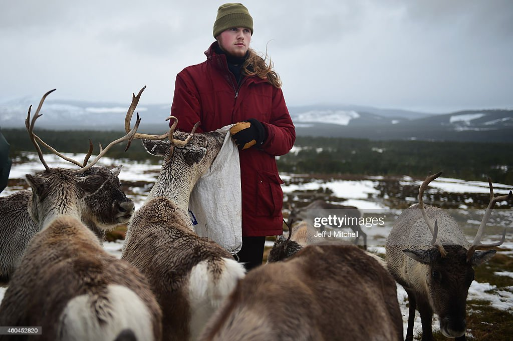Zac Brown a reindeer herder at the Cairgorm Herd feed the deer at The Cairngorms National Park on December 14, 2014 in North East Scotland. Reindeer were introduced to Scotland in 1952 by Swedish Sami reindeer herder, Mikel Utsi. Starting with just a few reindeer the herd has now grown in numbers over the years and is currently at about 130 by controlling the breeding. The herd rages on 2,500 hectares of hill ground between 450 and 1,309 meters and stay above the tree line all year round regardless of the weather conditions.