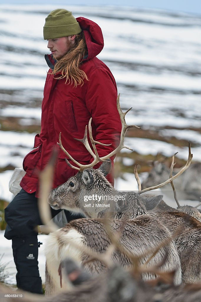 Zac Brown a reindeer herder at the Cairgorm Herd feed the deer at The Cairngorms National Park on December 14, 2014 in North East Scotland. Reindeer were introduced to Scotland in 1952 by Swedish Sami reindeer herder, Mikel Utsi. Starting with just a few reindeer; the herd has now grown in numbers over the years and is currently at about 130 by controlling the breeding. The herd rages on 2,500 hectares of hill ground between 450 and 1,309 meters and stay above the tree line all year round regardless of the weather conditions.