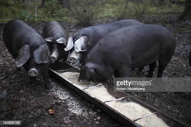 Zach Kalas, 30-years, fills a trough with a mix of organic grain for 5 Large Black pigs October 5, 2012 at the Moon in the Pond farm in Sheffield,...