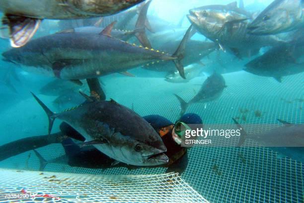 A diver helps fishermen to catch tuna fish at bluefin tuna farm around mid Adriatic Croatian town of Zadar 21 February 2007 before transporting them...