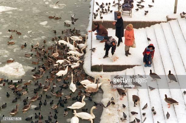 Zahlreich versammeln sich am 7.1.1997 Schwäne, Wildenten, Wildgänse, Tauben und andere Vögel am Mainufer in Frankfurt, um sich von Passanten füttern...