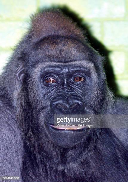 Zaire 26 years old one of four female gorillas hoping to mate with Jock18yrs London Zoo's new male gorilla who arrived from a French Zoo on...