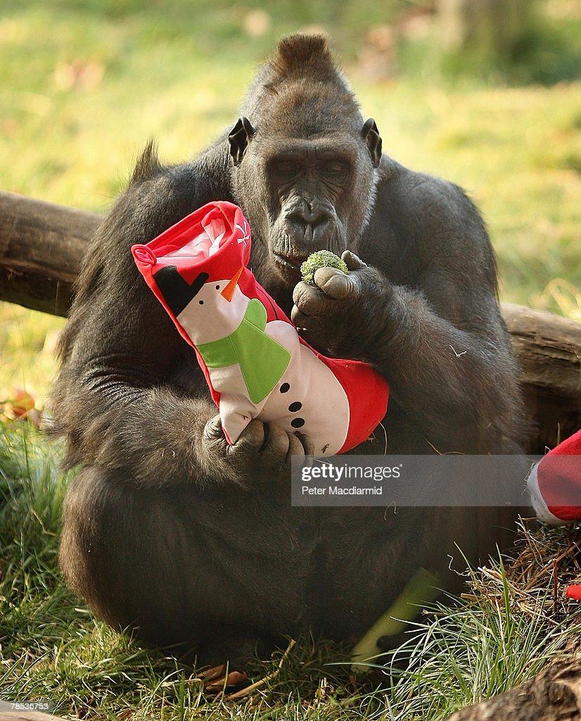 Gorilla Kingdom London Best Chimpanzee And Gorilla Image And - Children's birthday party london zoo