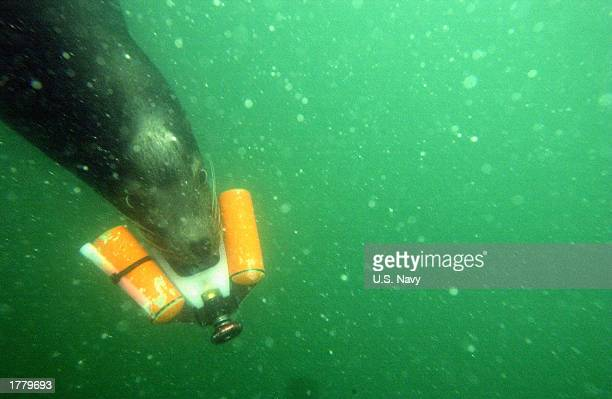 Zak a 375pound California sea lion moves through the water with a training device in his mouth during a training exercise February 12 2003 in the...