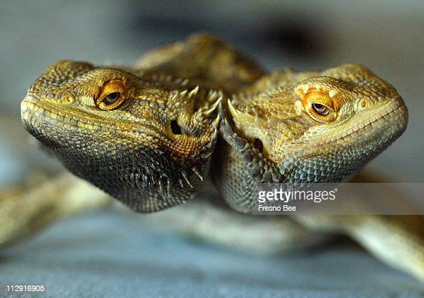 Zak right and Wheezie is a rare twoheaded bearded dragon owned by Barbara and Frank Witte of Fowler California