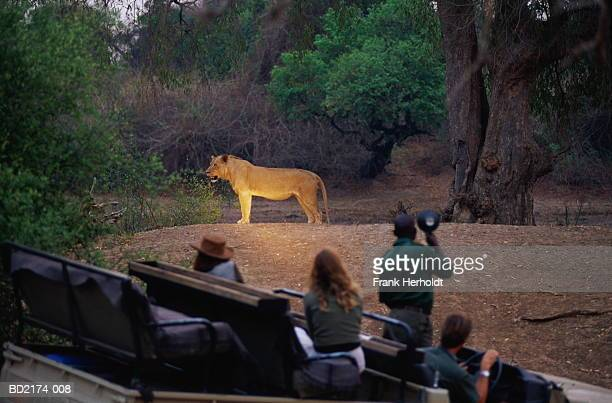 zambia, south luangwa national park, lion (panthera leo) - night safari stock pictures, royalty-free photos & images