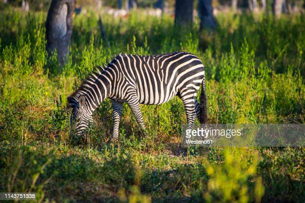 zambia, south luangwa national park, zebra - south luangwa national park stock pictures, royalty-free photos & images