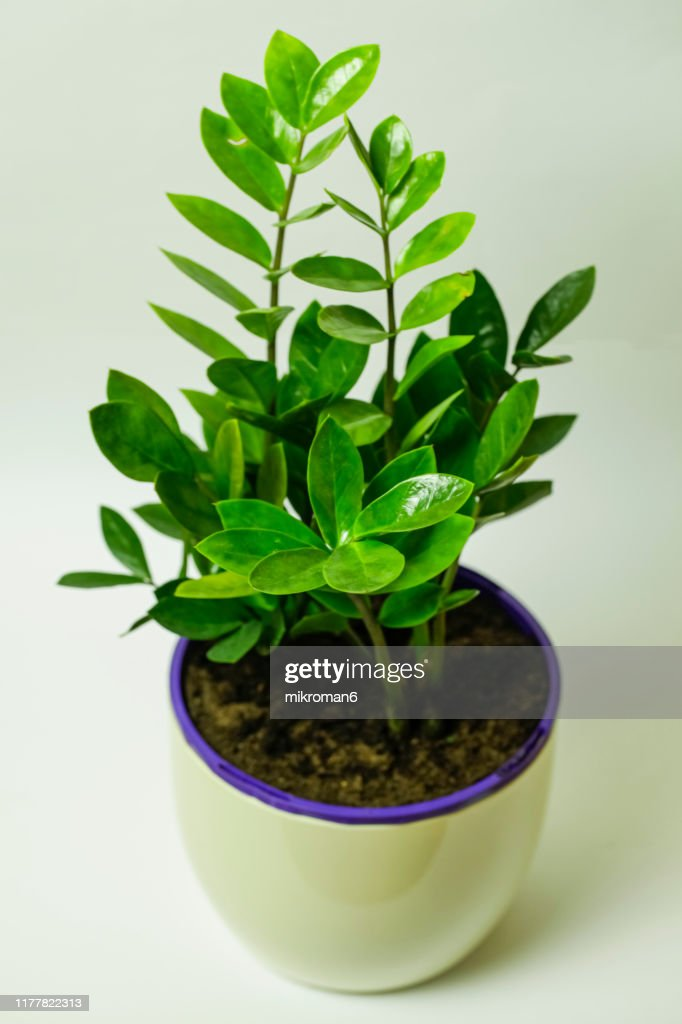 Zamioculcas House Plant High-Res Stock Photo - Getty Images on moshi plant, barbados plant, usambara plant, omam plant, lipstick tree plant, cyprus plant, sesame seed plant, new jersey tea plant, indoor fortune plant, honesty plant, fortune tree plant, cristina plant, bermuda plant, buying coffee bean plant, torch plant, outdoor croton plant, thunder plant, gem plant, brazil plant, ilex plant,