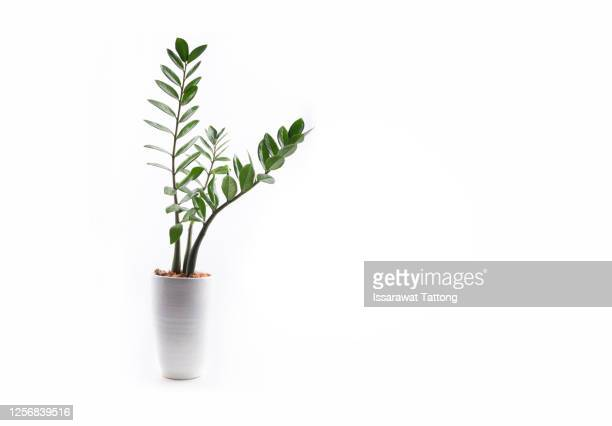 zamioculcas plant in a pot isolated on white background. - houseplant stock pictures, royalty-free photos & images