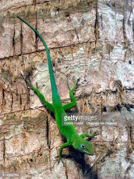 zandoli - anole lizard stock pictures, royalty-free photos & images