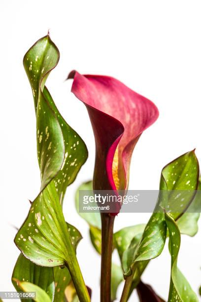 zantedeschia flower, common names arum lily, calla and calla lily - calla lilies white stock pictures, royalty-free photos & images