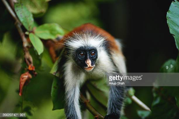 Zanzibar red colobus (Procolobus badius kirkii) lying, close up, Jozani forest, Zanzibar