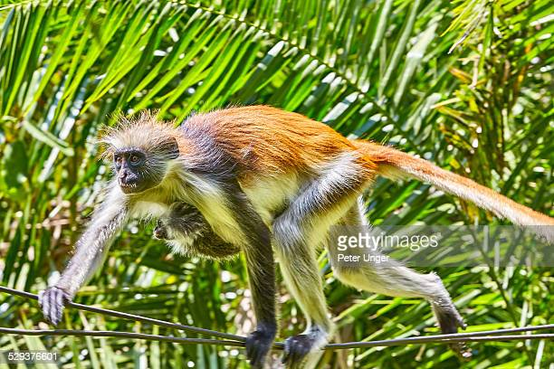 Zanzibar Red Colobus monkey and baby