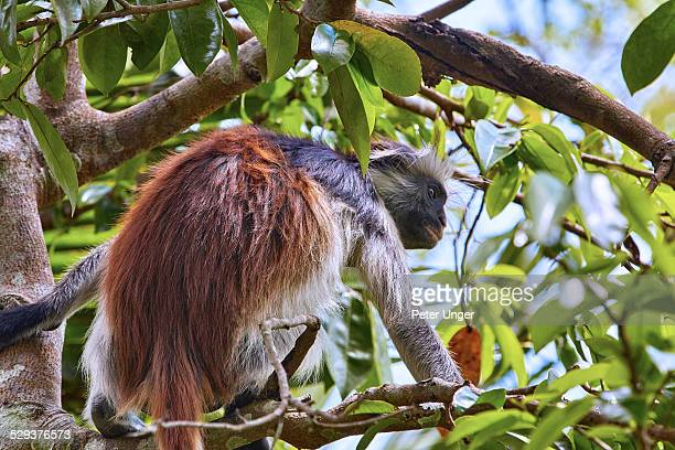 Zanzibar Red Colobus monkey, Jozani Forest