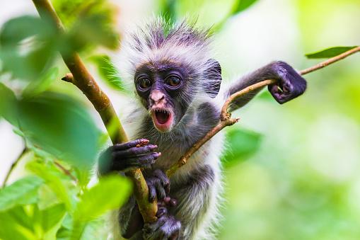 Zanzibar red colobus monkey. Zazibar, Tanzania. 926347234