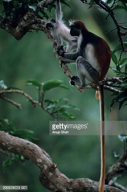 Zanzibar red colobus (Procolobus badius kirkii) sitting on tree branch, young playing, Zanzibar