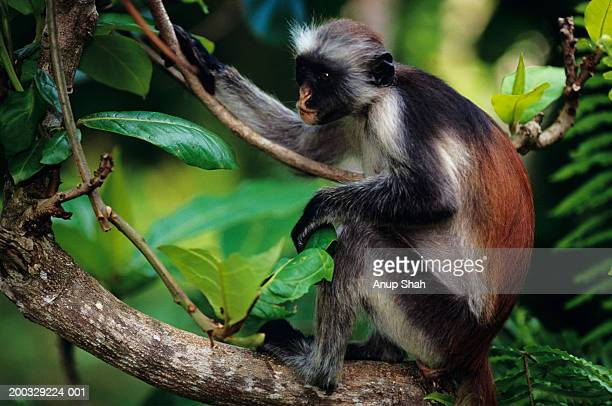 Zanzibar red colobus (Procolobus badius kirkii) sitting on tree branch, Zanzibar