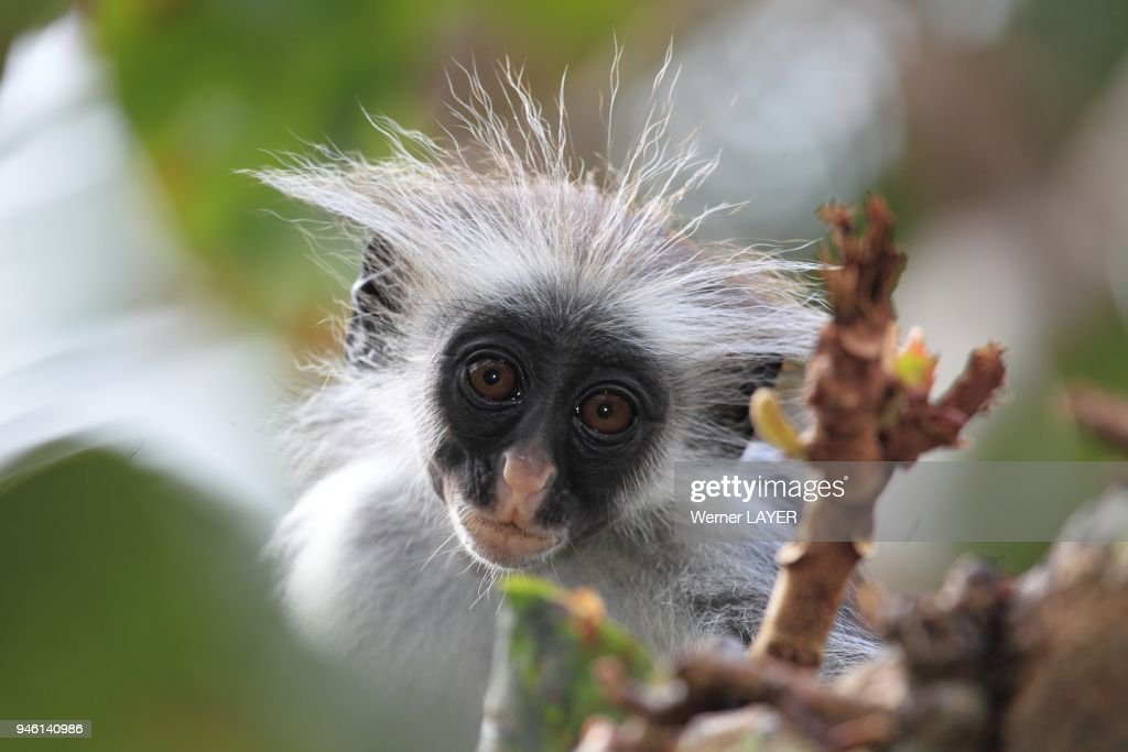 zanzibar red colobus piliocolobus kirkii pictures getty images