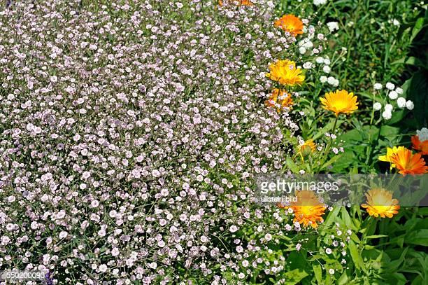 Zartrosa blühendes Schleierkraut auch Gipskraut der Sorte Rosenschleier neben Gartenringelblumen im sommerlichen Bauerngarten