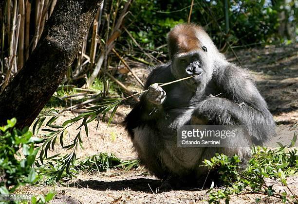 Zawadi a 17yearold Lowland gorilla chews on bamboo at the Pangani Forest Exploration Trail at Disney's Animal Kingdom Thursday March 4 in Orlando...
