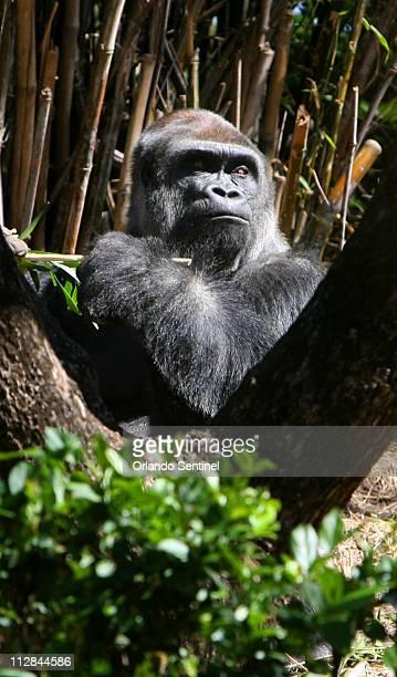 Zawadi a 17yearold Lowland gorilla eyes guests at the Pangani Forest Exploration Trail at Disney's Animal Kingdom Thursday March 4 in Orlando Florida