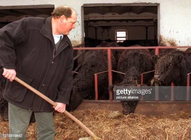 Züchter Johann Haslberger füttert am 29.1.1997 auf seinem Hof in Schwabersberg im Landkreis Erding seine Galloway-Rinder. Aus seiner Herde müssen...